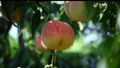农大腐植酸 挑战吉尼斯——蜜桃冠军揭晓 桃王实至名归