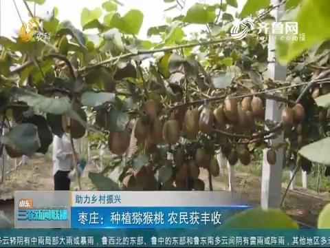 【助力乡村振兴】枣庄:种植猕猴桃 农民获丰收