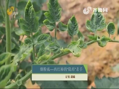 """烟粉虱——西红柿的""""隐形""""杀手"""