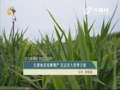 【农大腐植酸 挑战吉尼斯】生姜地里观摩测产 见证农大营养方案