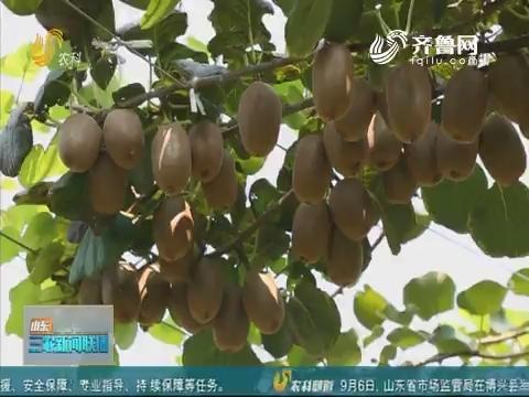 【博山猕猴桃采摘节】淄博:种植猕猴桃 农民保增收
