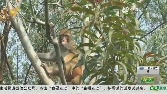 济南:悠闲惬意 俩猴安家路边树林