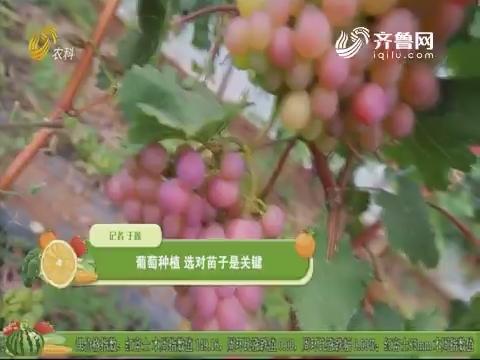 葡萄种植 选对苗子是关键