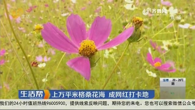 济南:上万平米格桑花海 成网红打卡地