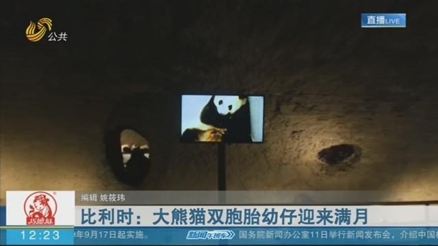 比利时:大熊猫双胞胎幼仔迎来满月