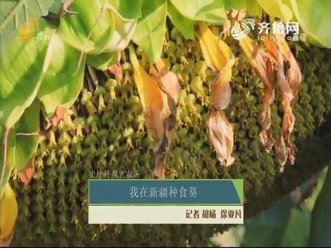 【史丹利·星光农场】我在新疆种食葵