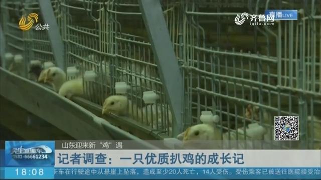 """【山东迎来新""""鸡""""遇】记者调查:一只优质扒鸡的成长记"""