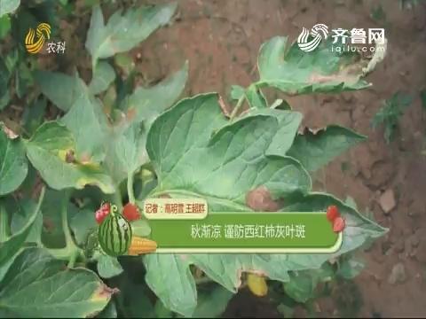 秋渐凉 谨防西红柿灰叶斑