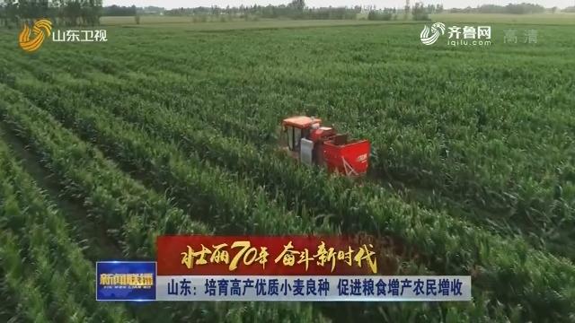 【壮丽70年 奋斗新时代】山东:培育高产优质小麦良种 促进粮食增产农民增收