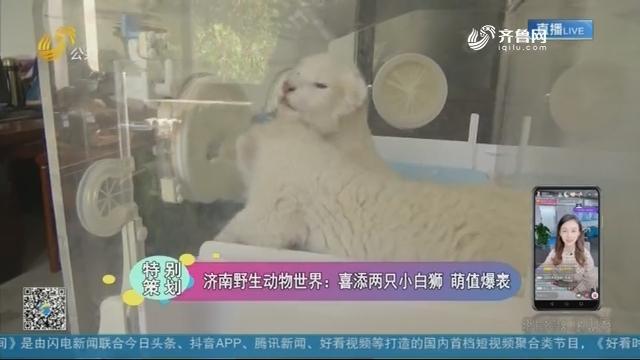 济南野生动物世界:喜添两只小白狮 萌值爆表