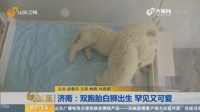 【闪电新闻排行榜】济南:双胞胎白狮出生 罕见又可爱