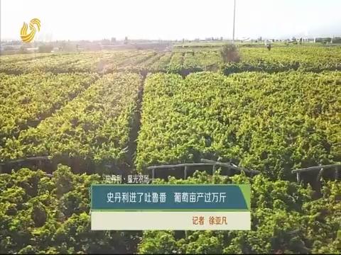 【史丹利·星光农场】史丹利进了吐鲁番 葡萄亩产过万斤