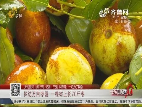 【乡村振兴 山东行动】探访万亩枣园 一棵树上长70斤枣