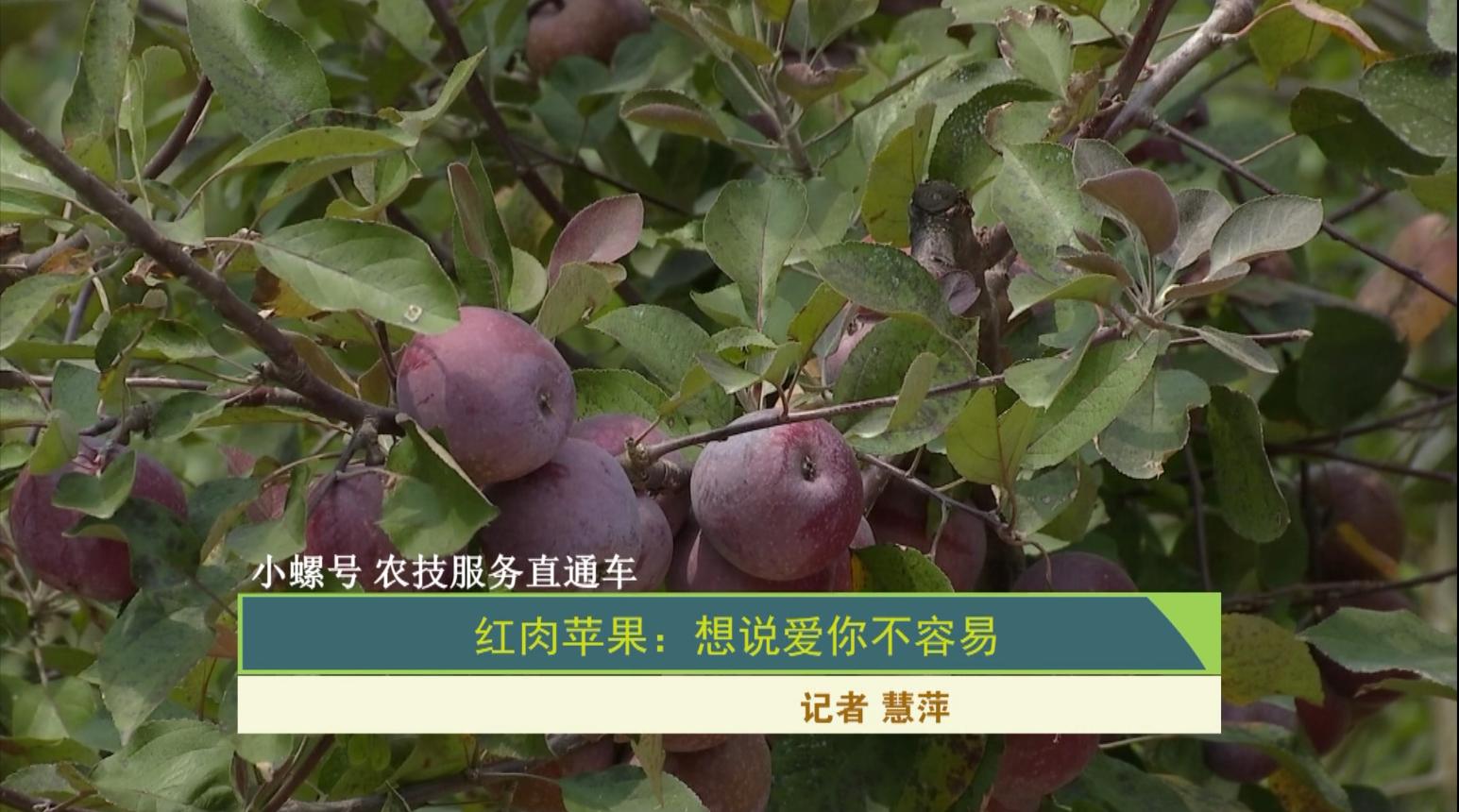 【小螺号 农技服务直通车】红肉苹果:想说爱你不容易