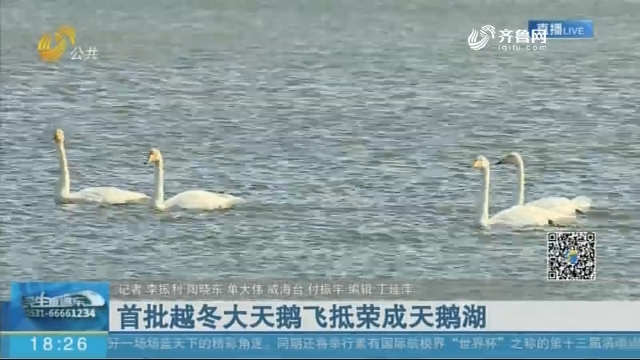 首批越冬大天鹅飞抵荣成天鹅湖
