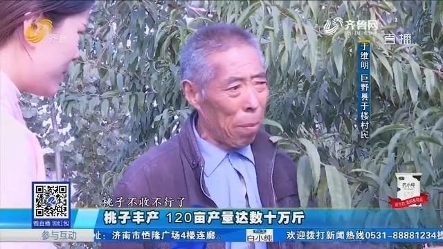 巨野:桃子丰产 120亩产量达数十万斤