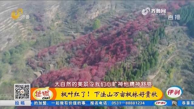 齐鲁最美乡村:枫叶红了!下法山万亩枫林好赏秋