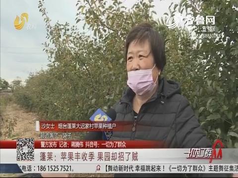 【警方发布】蓬莱:苹果丰收季 果园却招了贼