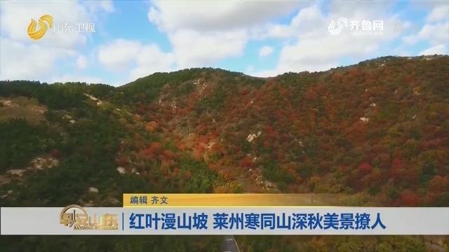 红叶漫山坡 莱州寒同山深秋美景撩人