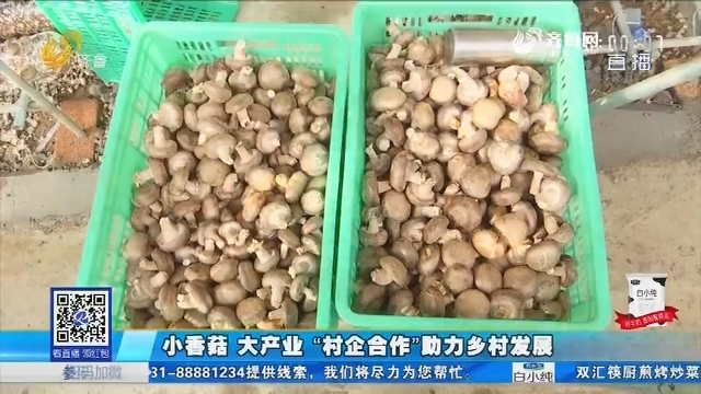 """淄博:小香菇 大产业 """"村企合作""""助力乡村发展"""