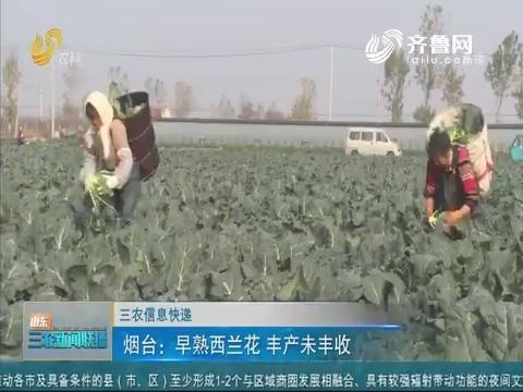 【三农信息快递】烟台:早熟西兰花 丰产未丰收