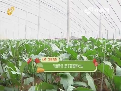 【农技一点通】气温降低 茄子管理有方法