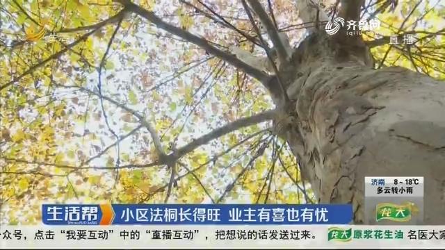济南:小区法桐长得旺 业主有喜也有忧