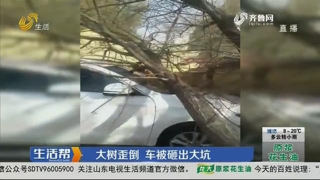 潍坊:大树歪倒 车被砸出大坑