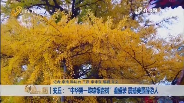 """安丘: """"中华第一雌雄银杏树""""着盛装 震撼美景醉游人"""