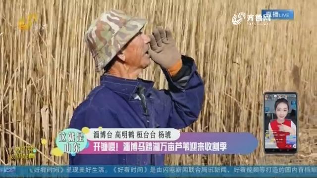 【融媒朋友圈】开镰喽!淄博马踏湖万亩芦苇迎来收割季