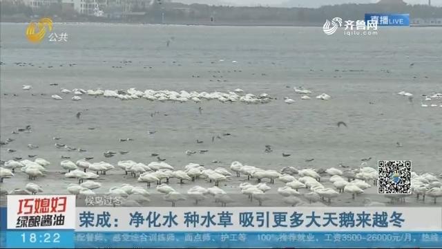 【候鸟过冬】荣成:净化水 种水草 吸引更多大天鹅来越冬