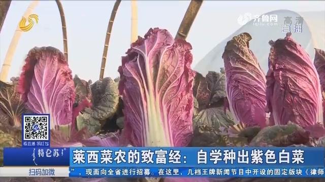 莱西菜农的致富经:自学种出紫色白菜