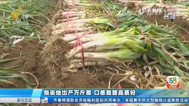 潍坊:每亩地出产万斤葱 口感脆甜品质好
