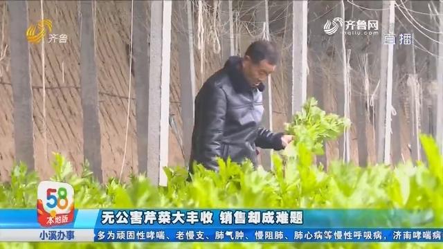 【58本地办事处】商河:无公害芹菜大丰收 销售却成难题