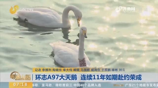 【闪电新闻排行榜】环志A97大天鹅 连续11年如期赴约荣成