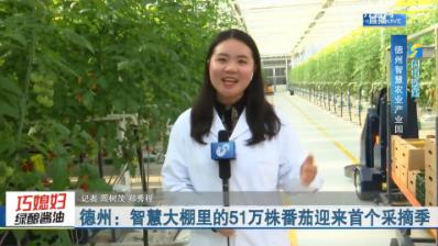 【闪电连线】德州:智慧大棚里的51万株番茄迎来首个采摘季
