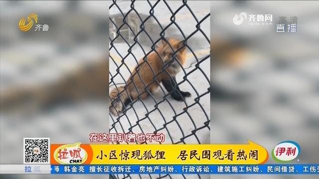 济南:小区惊现狐狸 居民围观看热闹