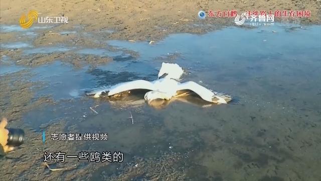 调查:东方白鹳 迁徙路上的生存困境
