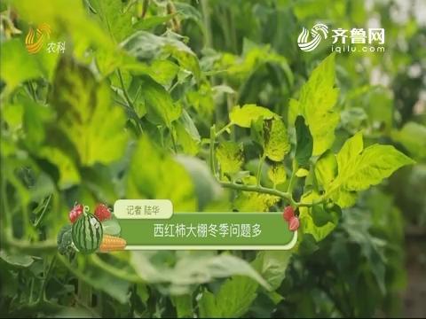 西红柿大棚冬季问题多