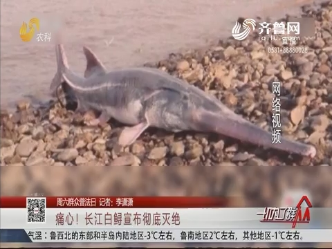 【周六群众普法日】痛心!长江白鲟宣布彻底灭绝
