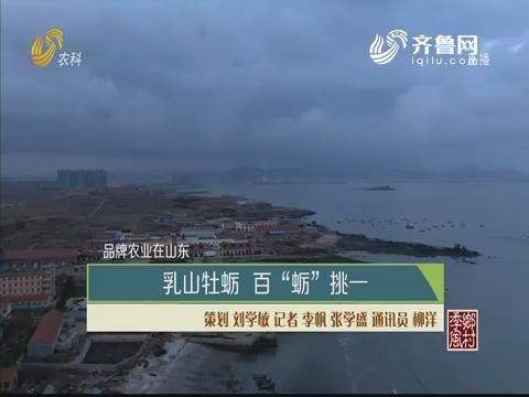 """【品牌农业在山东】乳山牡蛎 百""""蛎""""挑一"""