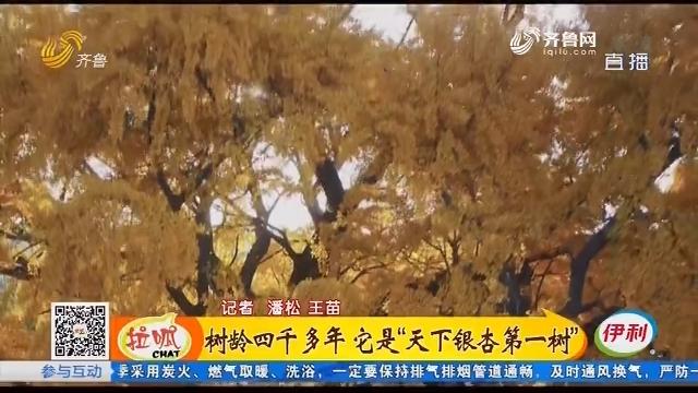 """莒县:树龄四千多年 它是""""天下银杏第一树"""""""