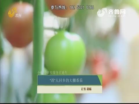 """【小螺号农技服务直通车】""""诱""""人回乡的大棚番茄"""