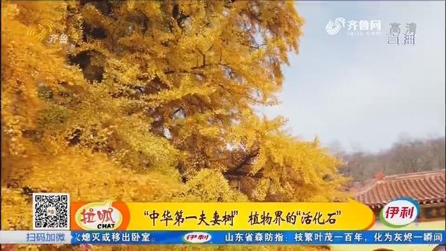 潍坊:两千五百年的银杏树 传说树苗由孔子带来