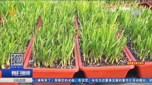 寿光新蔬菜:韭菜种进了花盆里