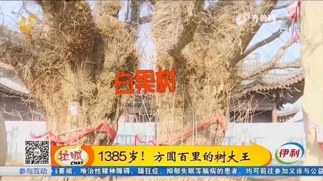 胶州:1385岁!方圆百里的树大王