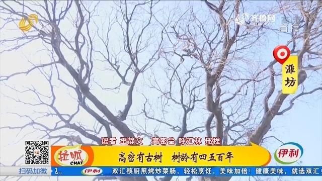 高密有古树 树龄有四五百年