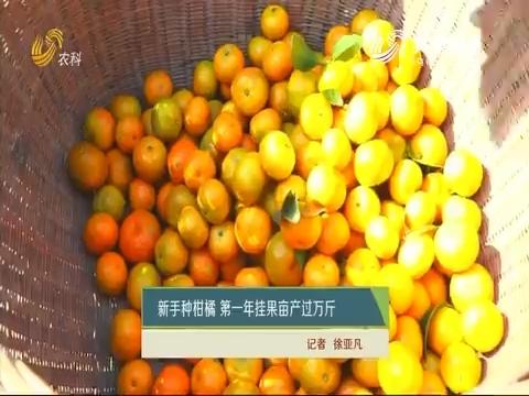 新手种柑橘 第一年挂果亩产过万斤