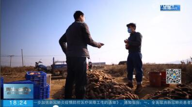 费县百万斤紫薯待售 网络平台线上驰援