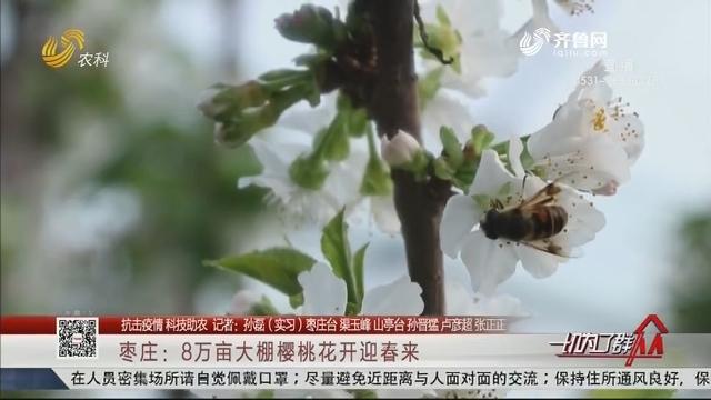【抗击疫情 科技助农】枣庄:8万亩大棚樱桃花开迎春来